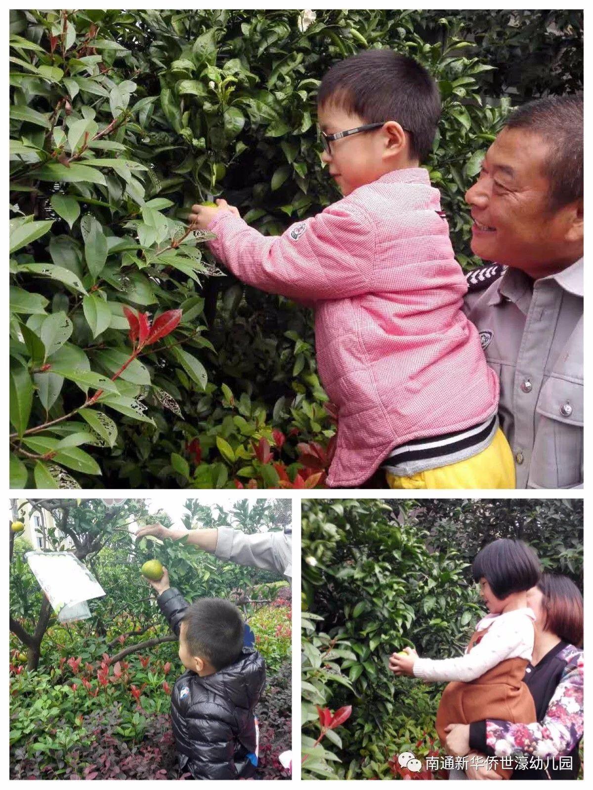 新华裔世濠幼儿园--采摘橘子分享高兴运动报道
