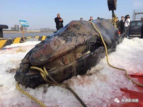 南通旧事圈 |方才,三现启东滩涂的停顿鲸宝宝确认已殒命 它为何连续三次停顿启东滩涂呢?