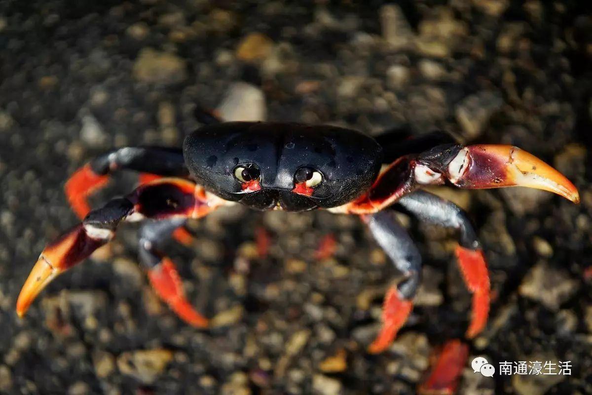 @南通吃货 当遇上百万螃蟹横行马路,你敢吃吗?